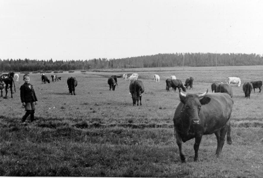 Kor på bete 1943